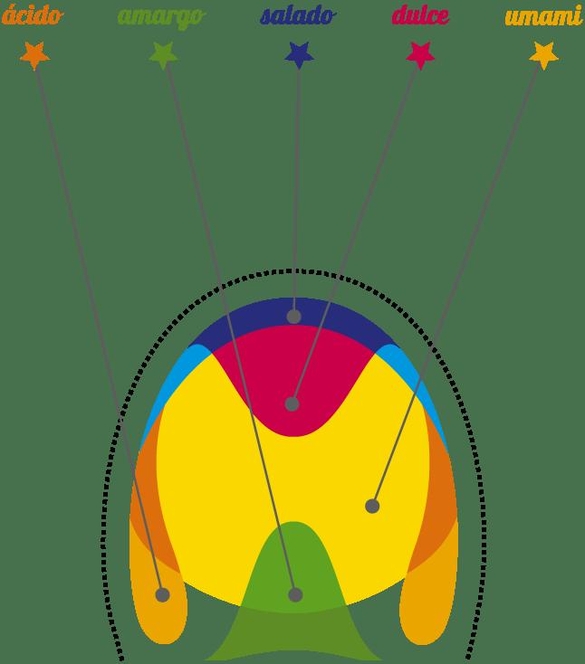 lengua y zonas de sabor